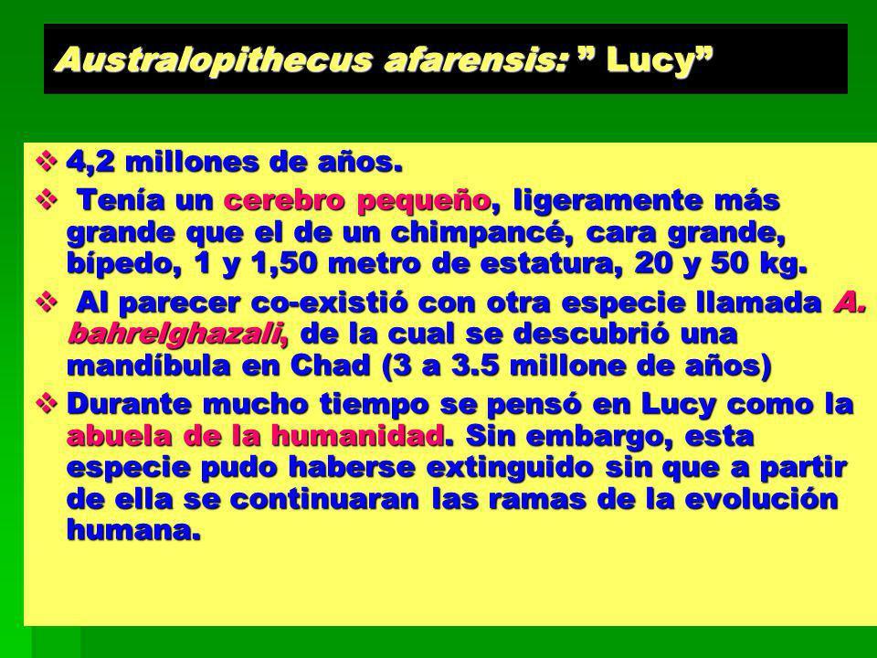 Australopithecus afarensis: Lucy