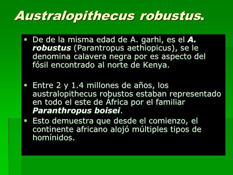 Australopithecus robustus.