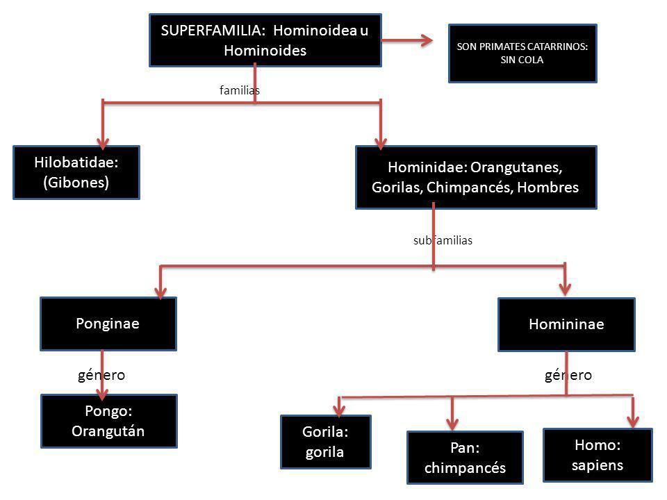 SUPERFAMILIA: Hominoidea u Hominoides
