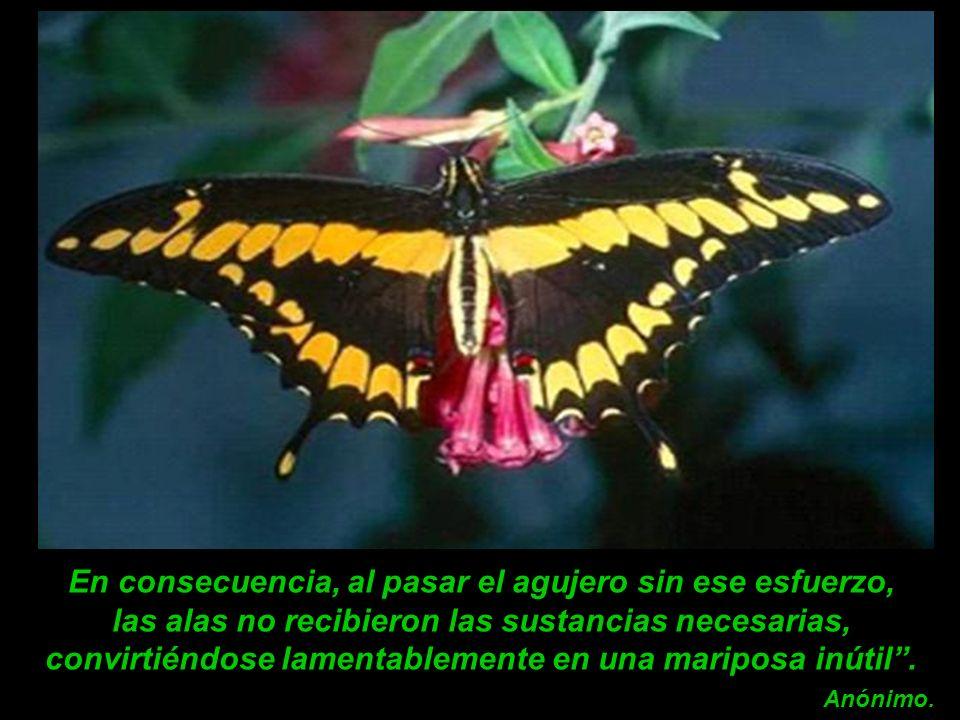 En consecuencia, al pasar el agujero sin ese esfuerzo, las alas no recibieron las sustancias necesarias, convirtiéndose lamentablemente en una mariposa inútil .