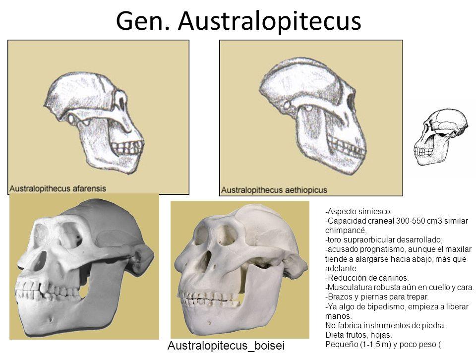 Gen. Australopitecus Australopitecus_boisei -Aspecto simiesco.