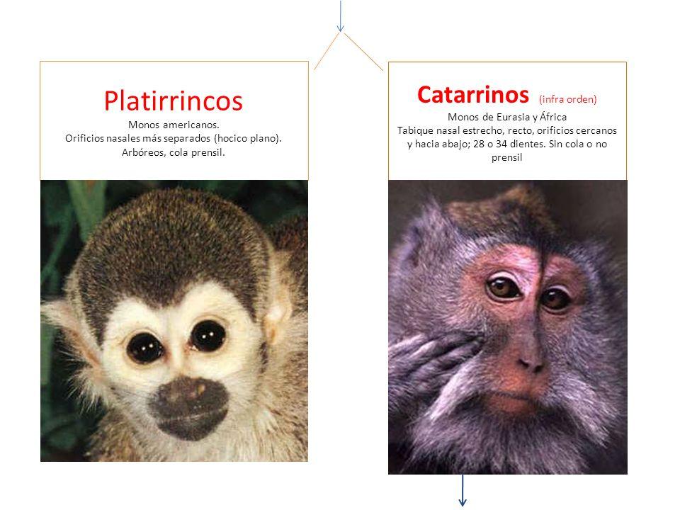 Platirrincos Catarrinos (infra orden) Monos de Eurasia y África