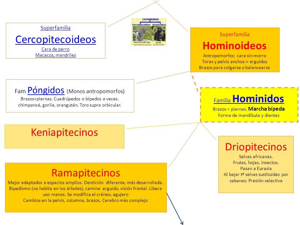 Keniapitecinos Driopitecinos Ramapitecinos