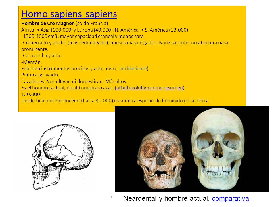 Homo sapiens sapiens Neardental y hombre actual. comparativa