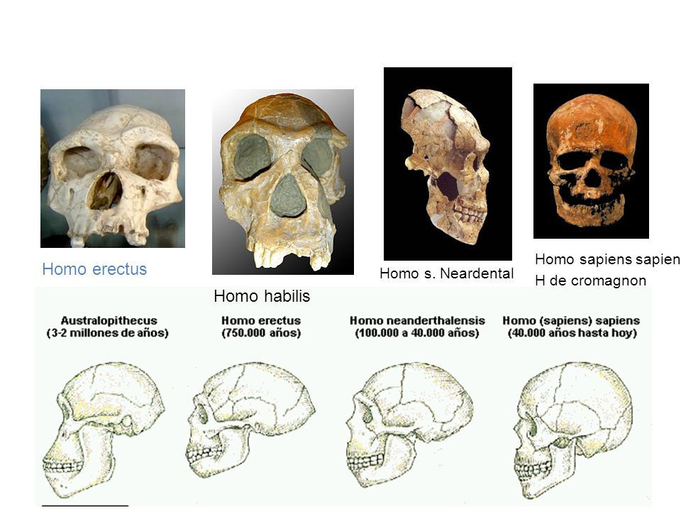Homo erectus Homo habilis Homo sapiens sapiens H de cromagnon