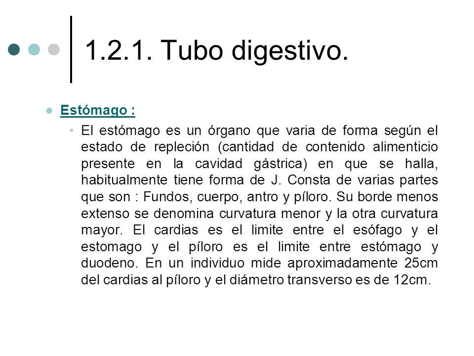 1.2.1. Tubo digestivo. Estómago :