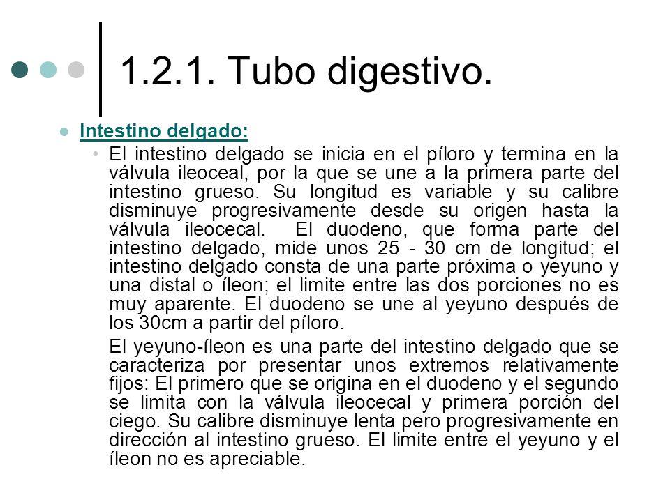 1.2.1. Tubo digestivo. Intestino delgado: