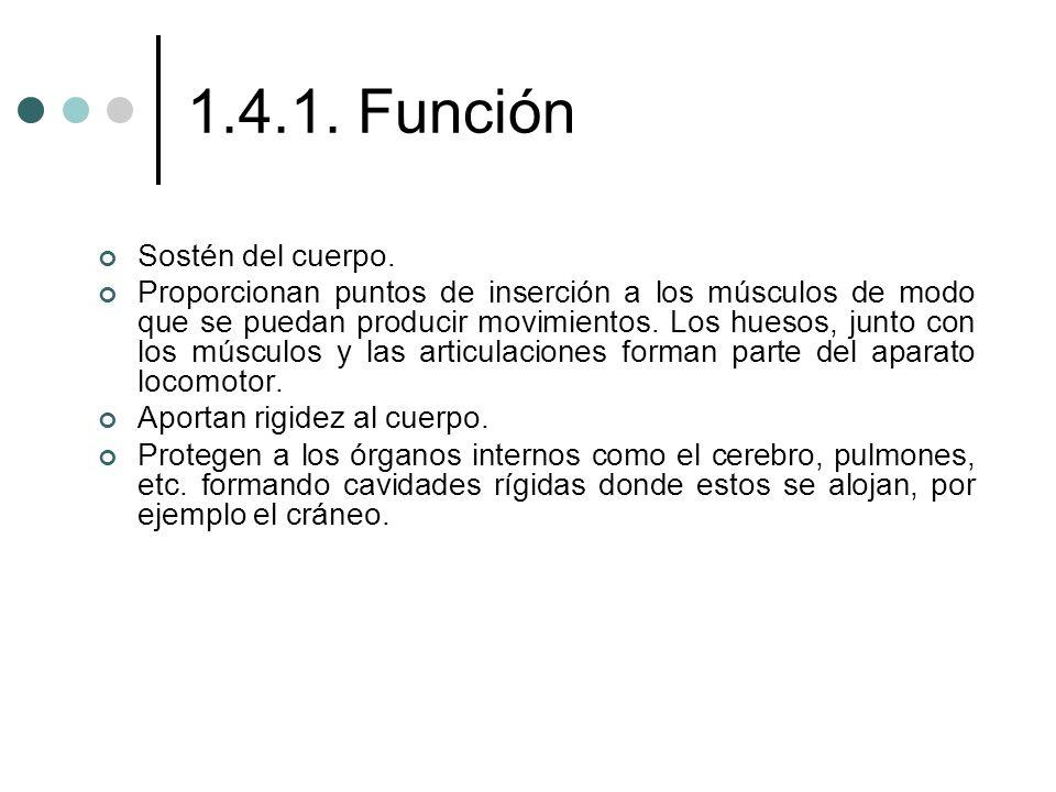1.4.1. Función Sostén del cuerpo.
