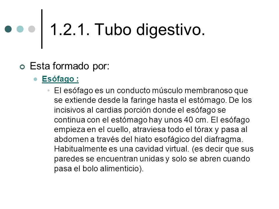 1.2.1. Tubo digestivo. Esta formado por: Esófago :
