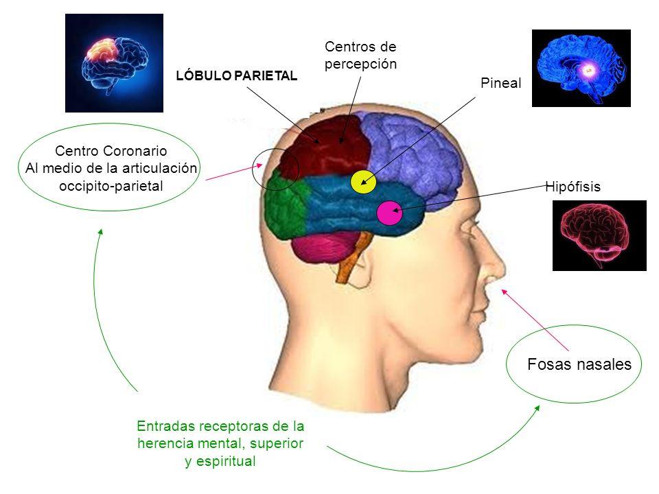 Fosas nasales Centros de percepción Pineal Centro Coronario