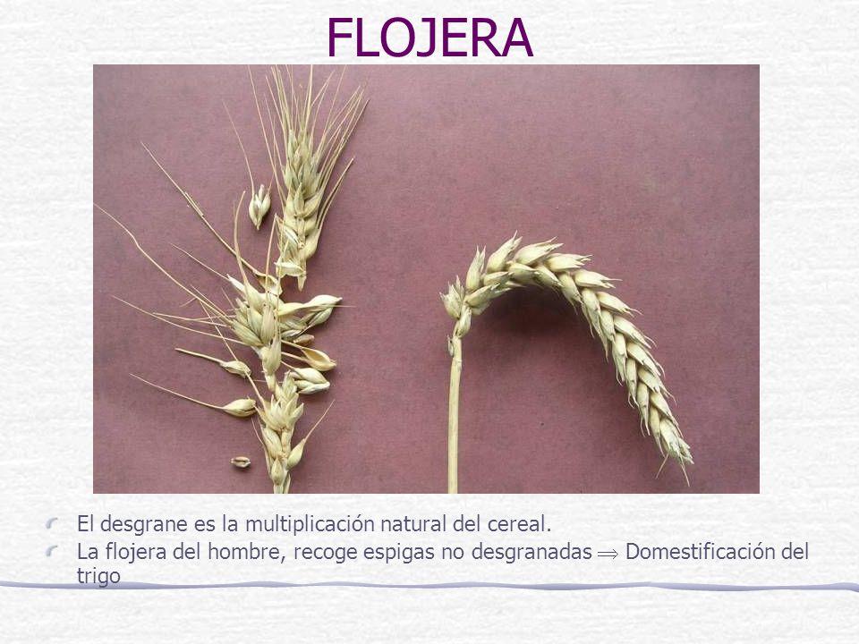 FLOJERA El desgrane es la multiplicación natural del cereal.