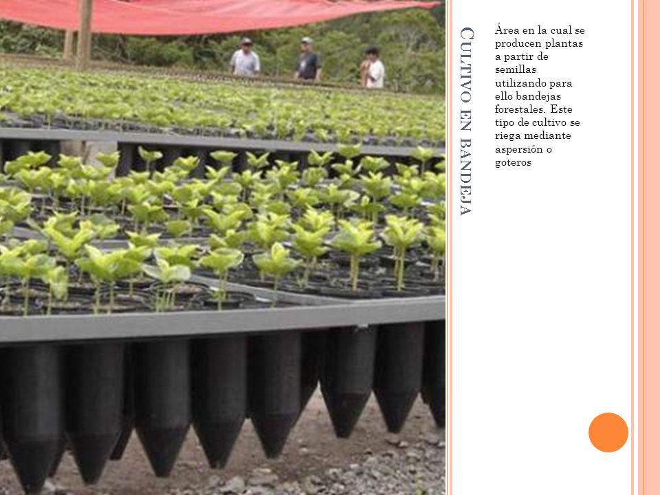 Área en la cual se producen plantas a partir de semillas utilizando para ello bandejas forestales. Este tipo de cultivo se riega mediante aspersión o goteros