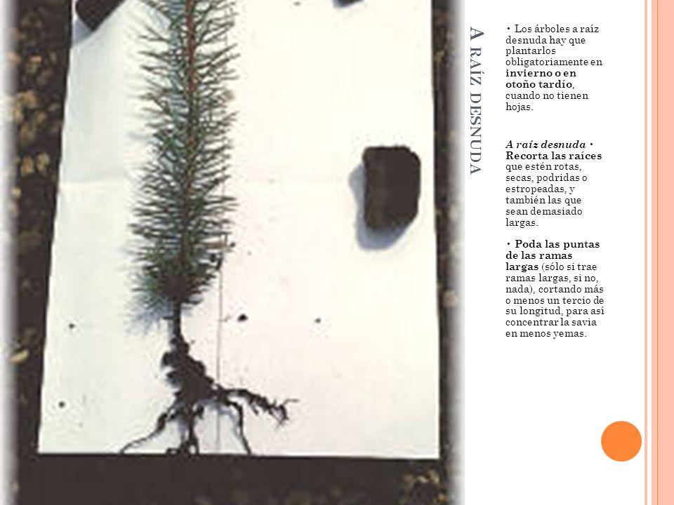 • Los árboles a raíz desnuda hay que plantarlos obligatoriamente en invierno o en otoño tardío, cuando no tienen hojas.