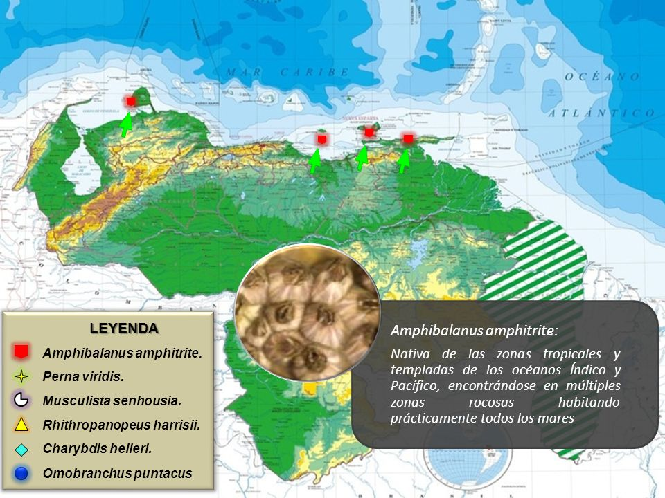 Amphibalanus amphitrite: