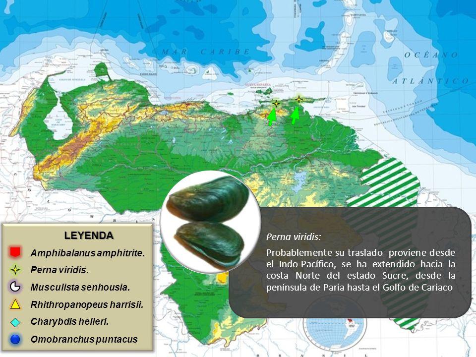 Perna viridis: LEYENDA