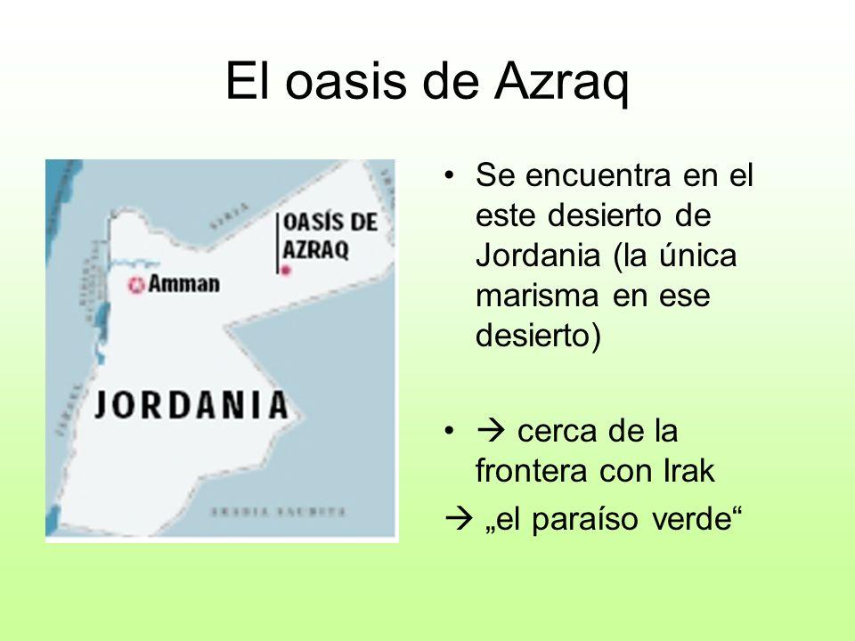 El oasis de Azraq Se encuentra en el este desierto de Jordania (la única marisma en ese desierto)  cerca de la frontera con Irak.