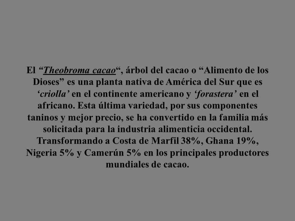 El Theobroma cacao , árbol del cacao o Alimento de los Dioses es una planta nativa de América del Sur que es 'criolla' en el continente americano y 'forastera' en el africano.