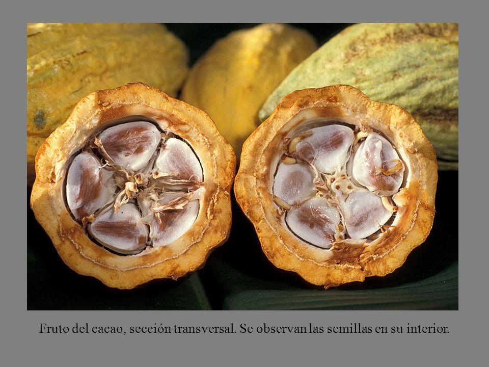 Fruto del cacao, sección transversal