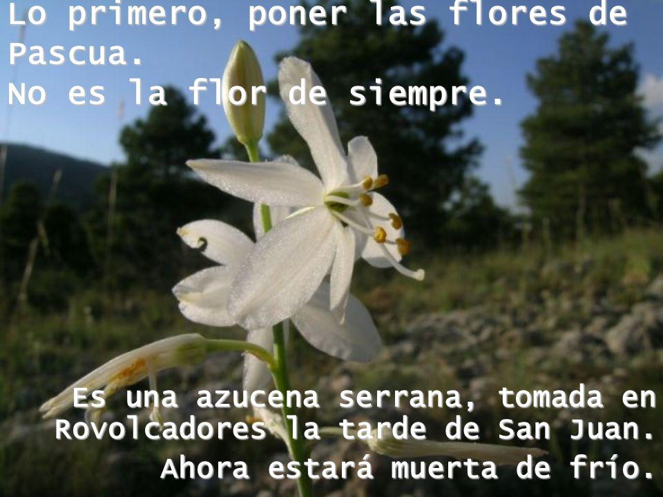 Lo primero, poner las flores de Pascua. No es la flor de siempre.