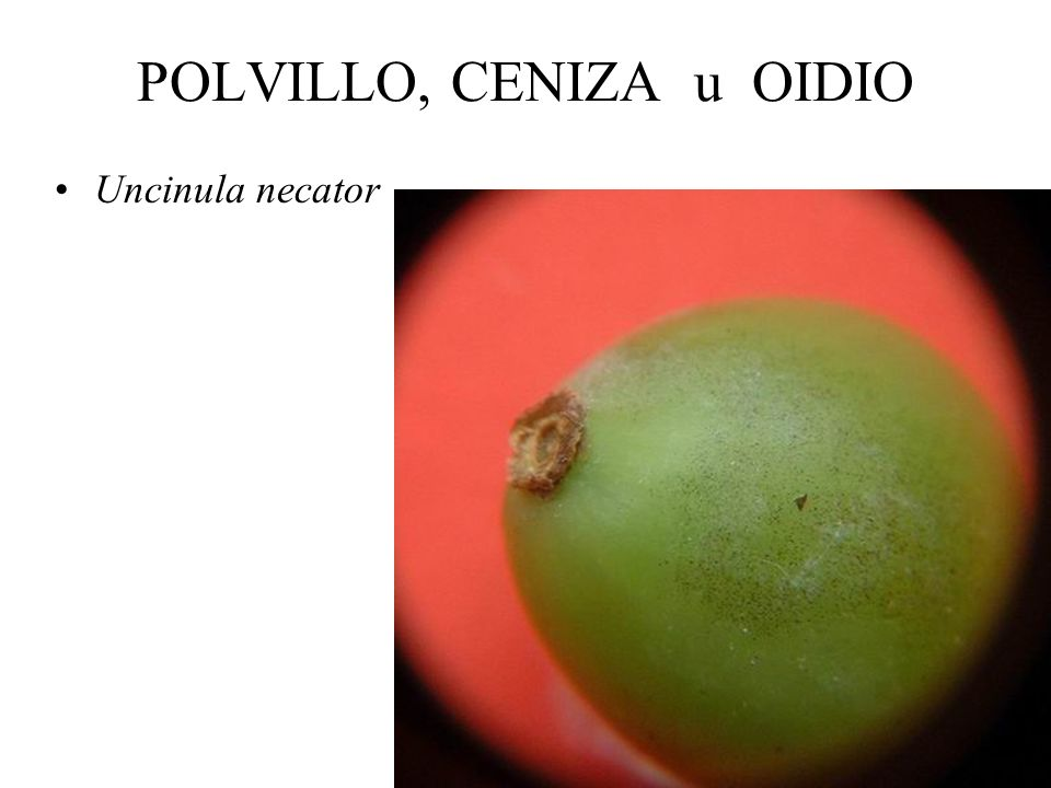 POLVILLO, CENIZA u OIDIO