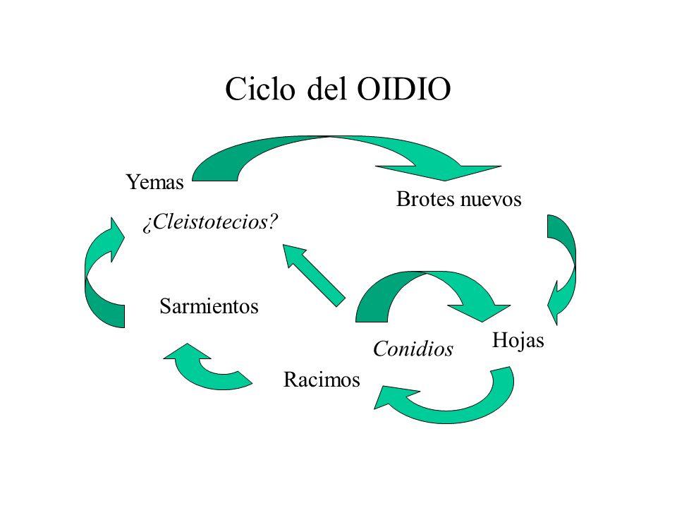 Ciclo del OIDIO Yemas Brotes nuevos ¿Cleistotecios Sarmientos Hojas