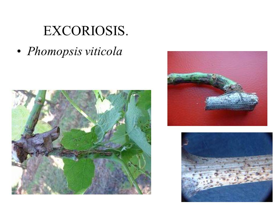 EXCORIOSIS. Phomopsis viticola