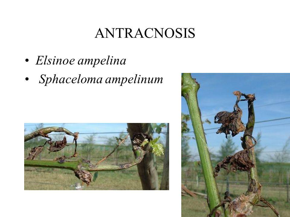 ANTRACNOSIS Elsinoe ampelina Sphaceloma ampelinum