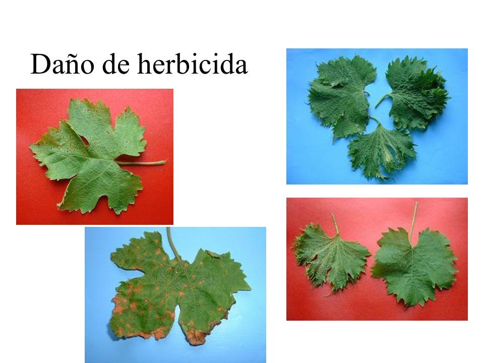Daño de herbicida