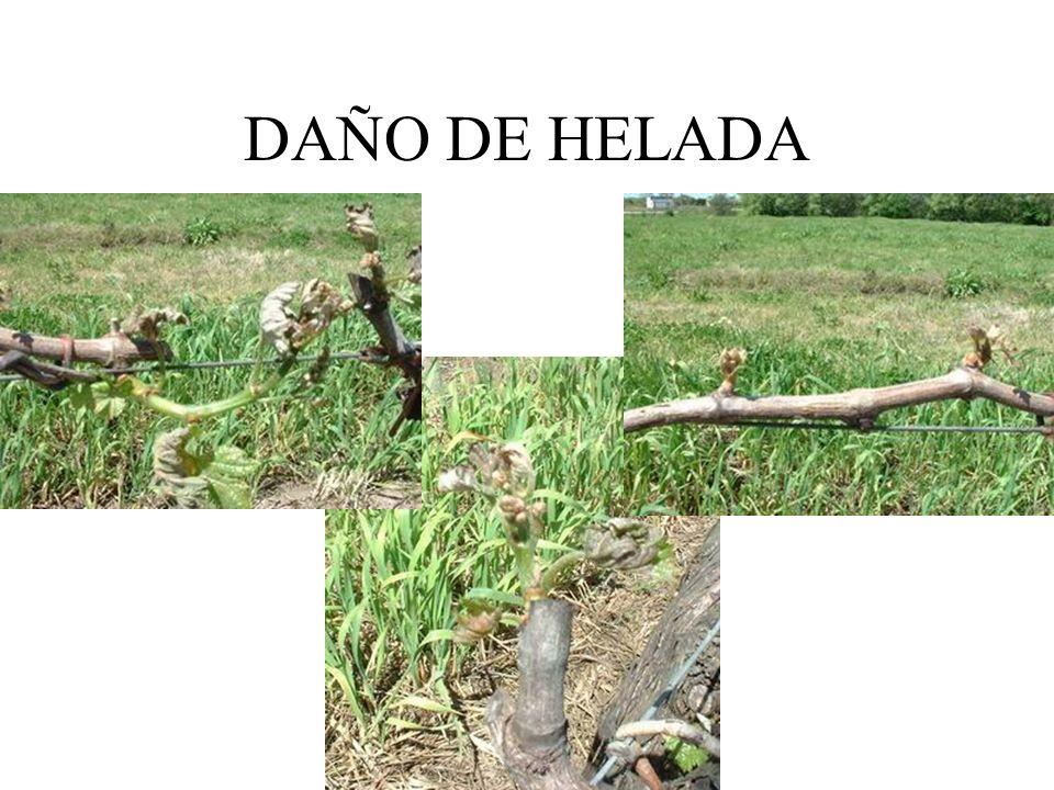DAÑO DE HELADA