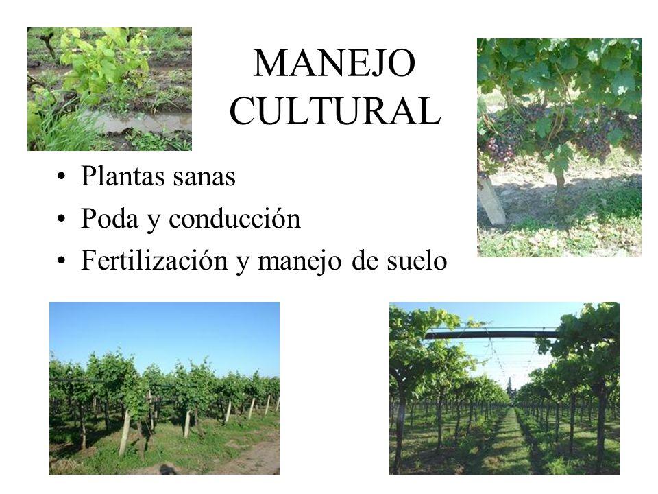 MANEJO CULTURAL Plantas sanas Poda y conducción