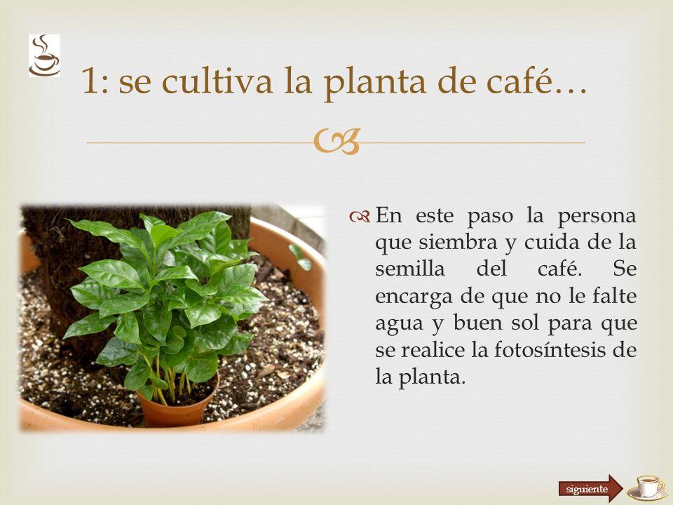 1: se cultiva la planta de café…