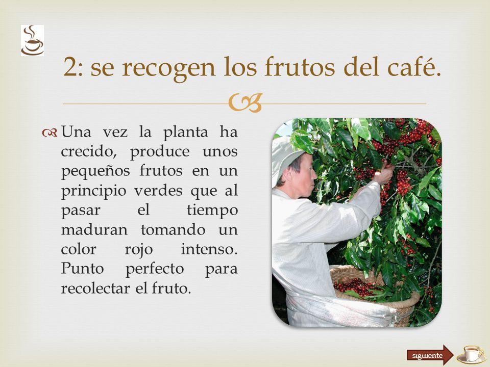 2: se recogen los frutos del café.