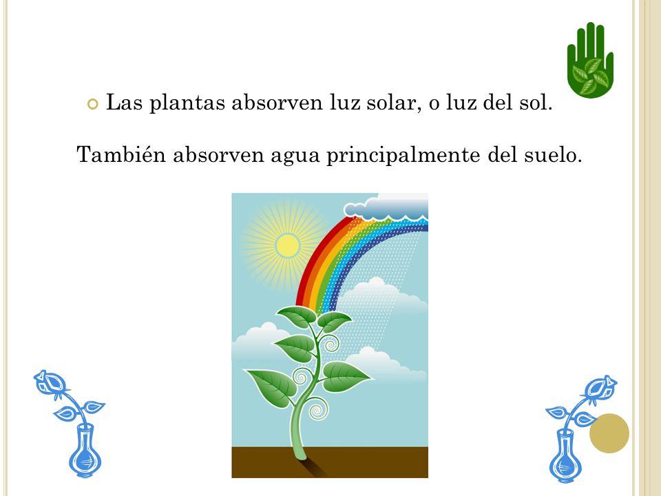 Las plantas absorven luz solar, o luz del sol