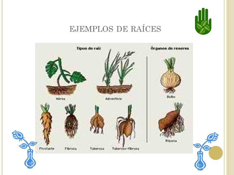 ejemplos de raíces