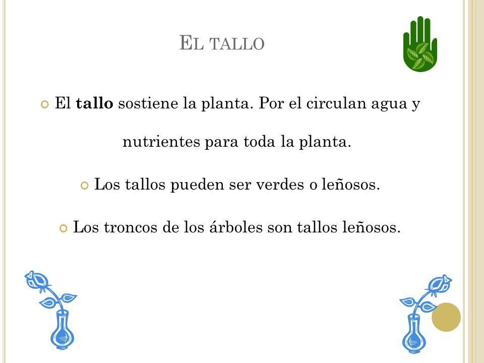 El tallo El tallo sostiene la planta. Por el circulan agua y nutrientes para toda la planta. Los tallos pueden ser verdes o leñosos.