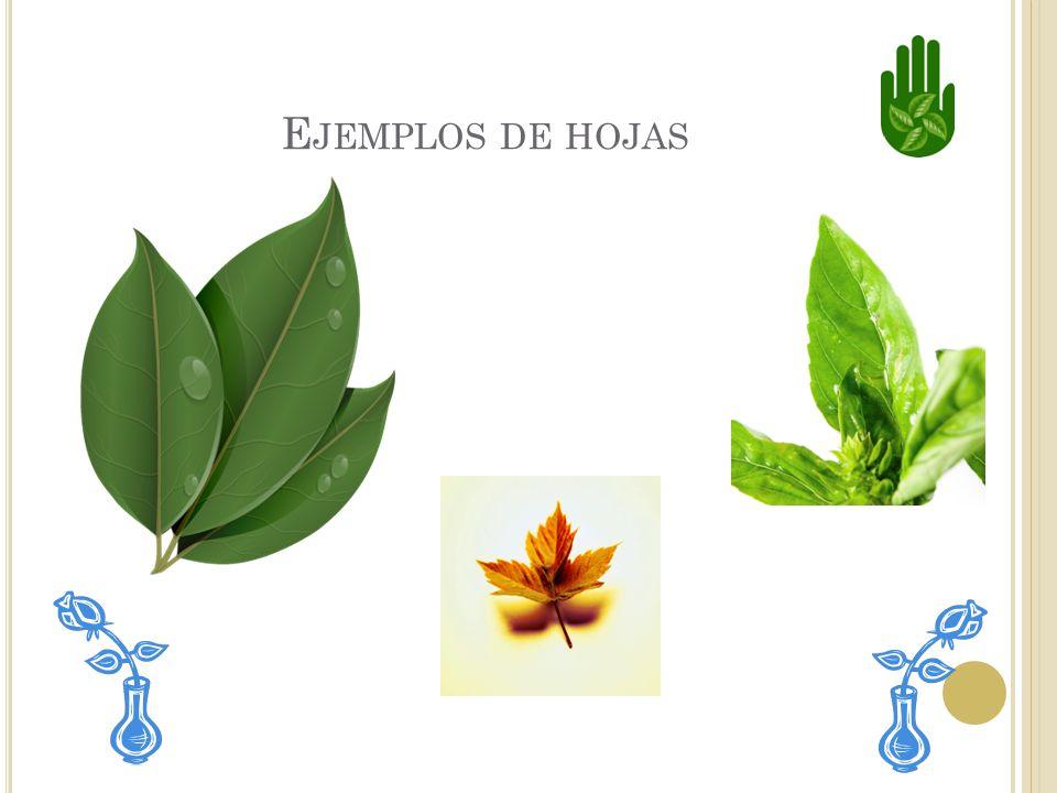 Ejemplos de hojas