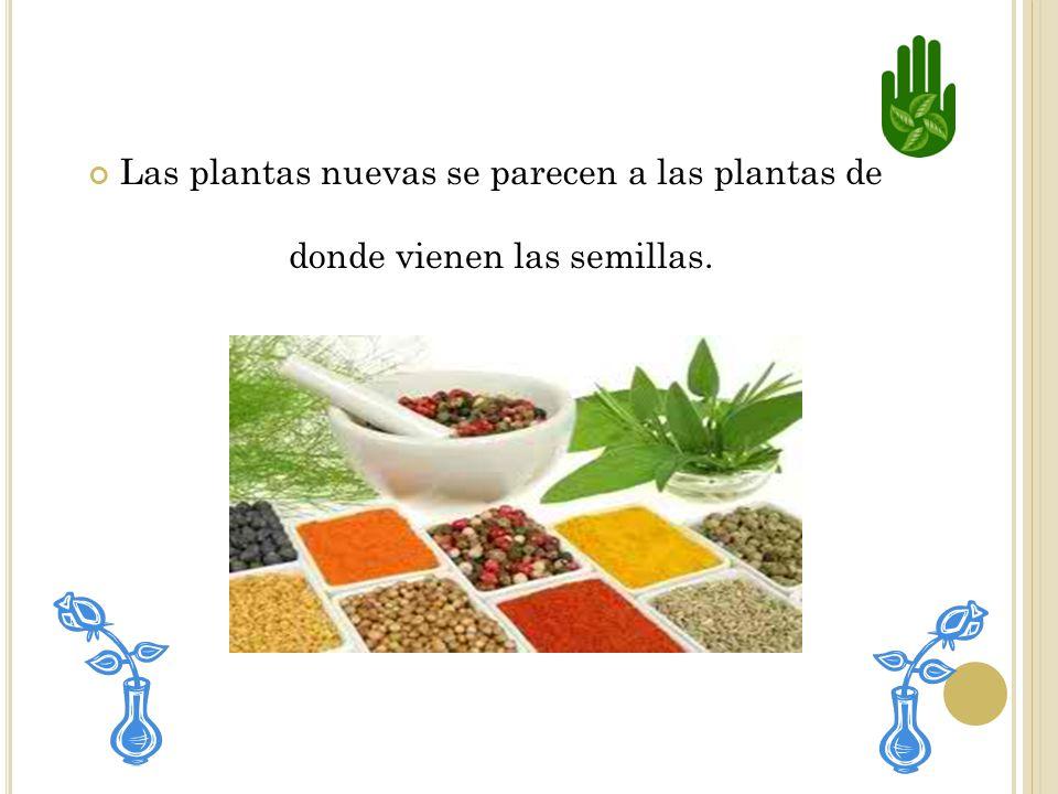 Las plantas nuevas se parecen a las plantas de donde vienen las semillas.