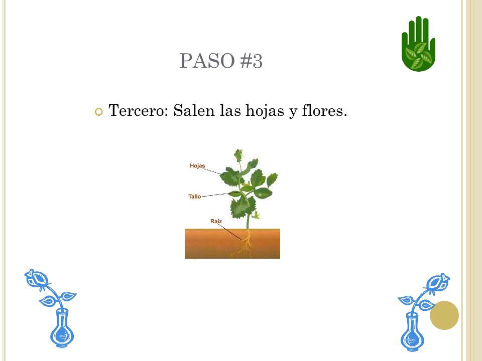 Tercero: Salen las hojas y flores.