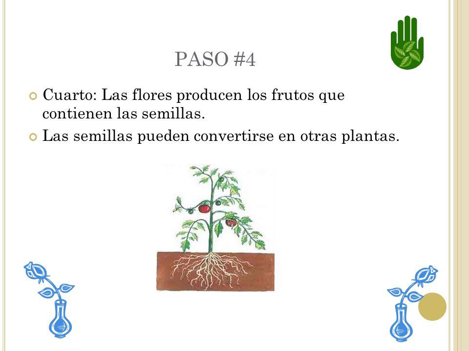 PASO #4 Cuarto: Las flores producen los frutos que contienen las semillas.