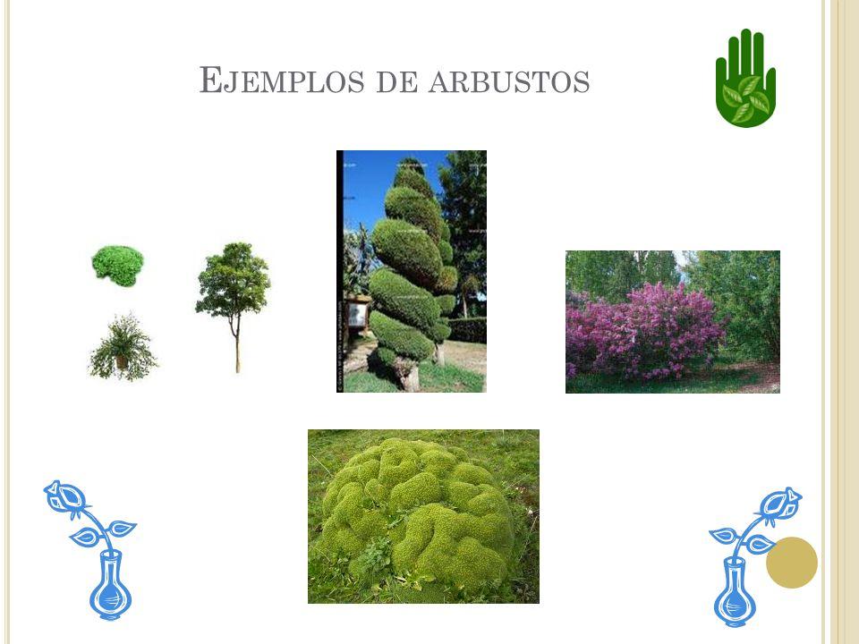 Ejemplos de arbustos
