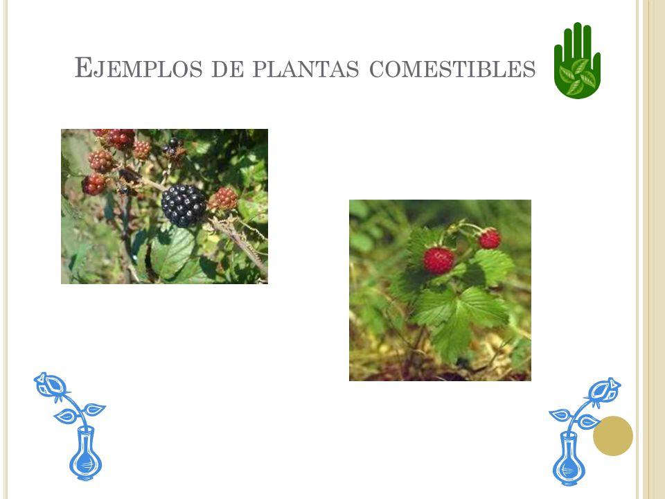 Ejemplos de plantas comestibles