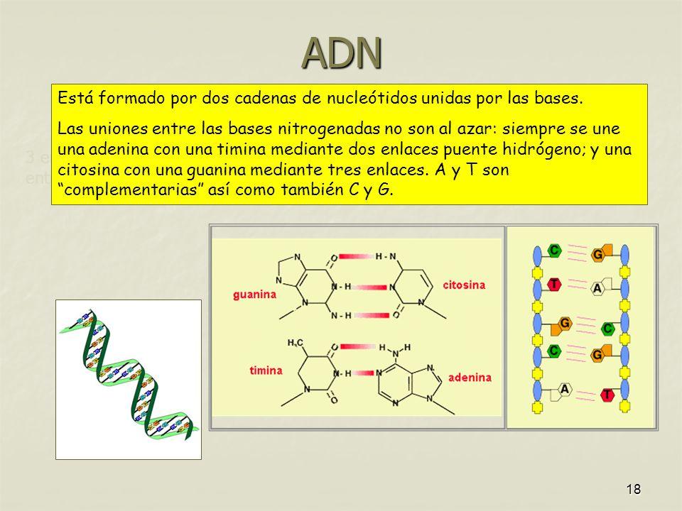 ADN Está formado por dos cadenas de nucleótidos unidas por las bases.