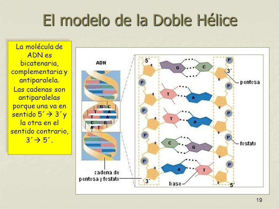 El modelo de la Doble Hélice