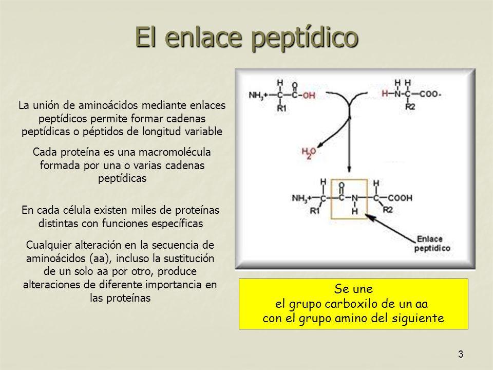 El enlace peptídico Se une el grupo carboxilo de un aa