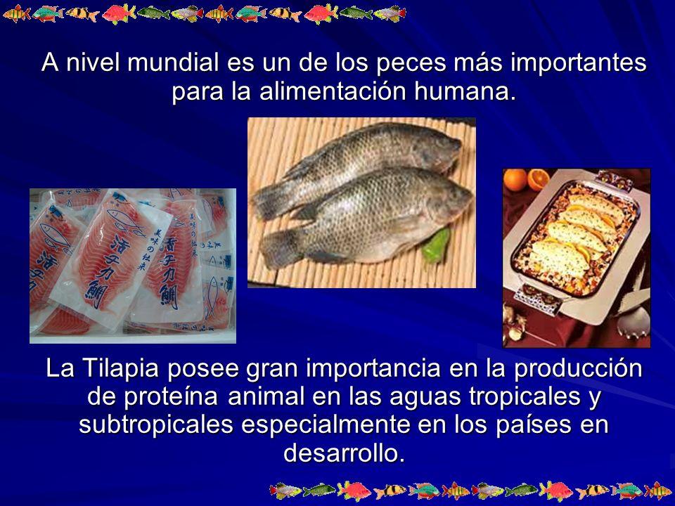 A nivel mundial es un de los peces más importantes para la alimentación humana.