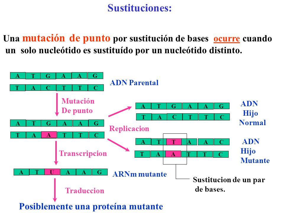 Sustituciones: Una mutación de punto por sustitución de bases ocurre cuando. un solo nucleótido es sustituído por un nucleótido distinto.