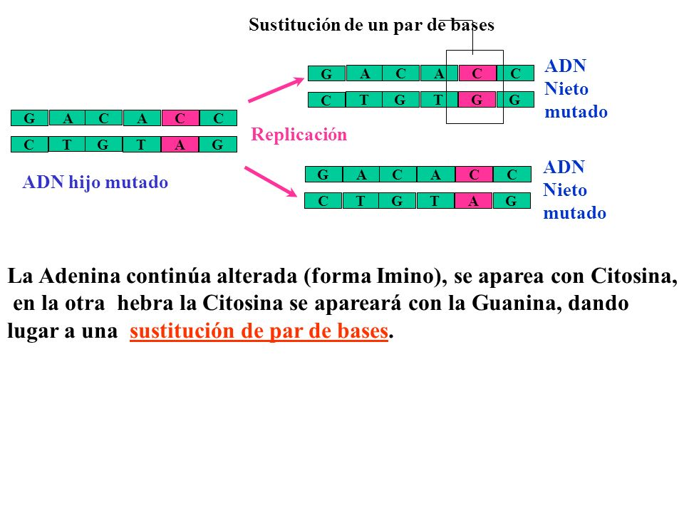 La Adenina continúa alterada (forma Imino), se aparea con Citosina,