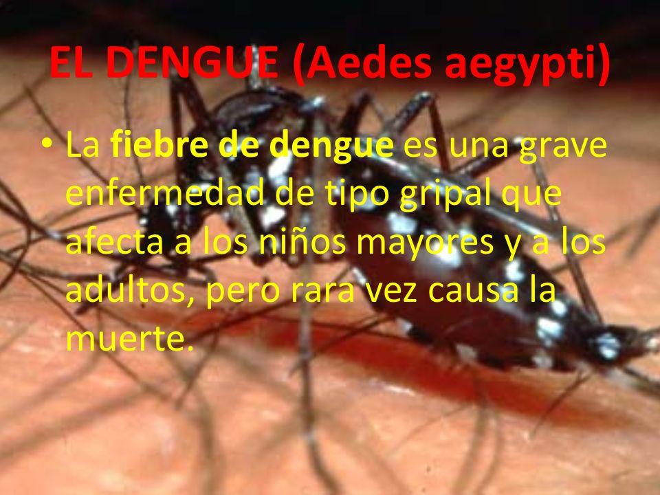 EL DENGUE (Aedes aegypti)