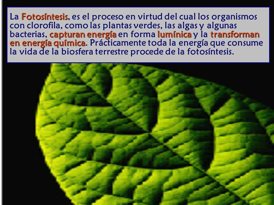 La Fotosíntesis, es el proceso en virtud del cual los organismos con clorofila, como las plantas verdes, las algas y algunas bacterias, capturan energía en forma lumínica y la transforman en energía química.