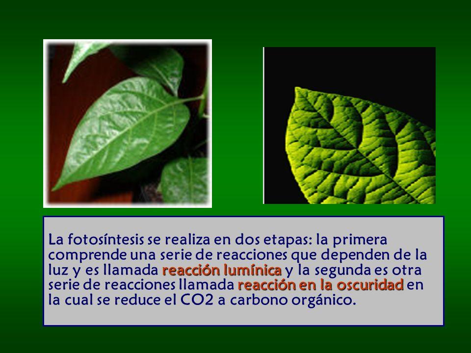 La fotosíntesis se realiza en dos etapas: la primera comprende una serie de reacciones que dependen de la luz y es llamada reacción lumínica y la segunda es otra serie de reacciones llamada reacción en la oscuridad en la cual se reduce el CO2 a carbono orgánico.